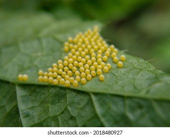 Close up of eggs of tawny coster butterfly