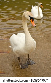 close up of elegant white swan with bright orange beak, standing at edge of river with a swan in background in the water