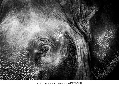 Close Up Elephant Eye