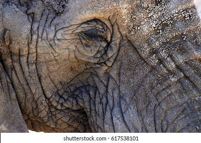 Close up of an elephant face, eye and skin