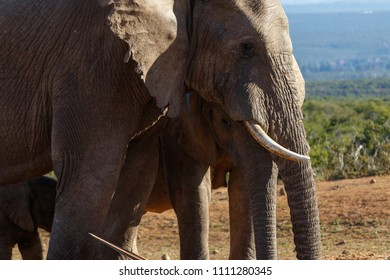 Close up of the Elephant family standing together drinking water