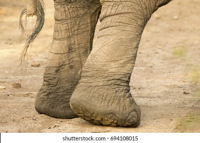 Close up of elephant hind legs and tail