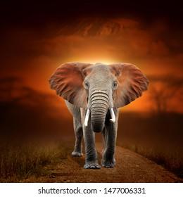 Close elephant on savanna landscape background and Mount Kilimanjaro at sunset