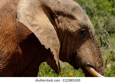 Close up of an Elephant passing by in the field