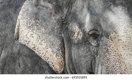 Close up of elephant skin texture and eye.