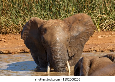 Close up of the Elephant standing in the water