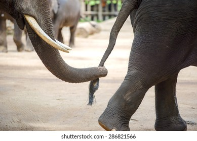 Close up elephant trunk holding the tail of another elephant ,Lampang ,Thailand.
