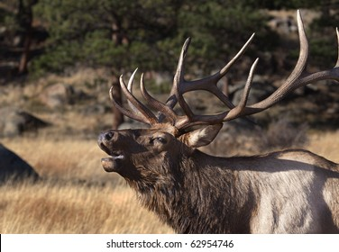 close up of an elk bugling in Rocky Mountain National Park