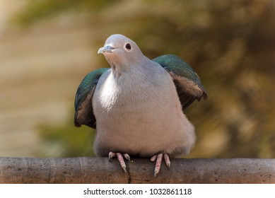 Close up of an emerald pigeon stretching its wings before take off