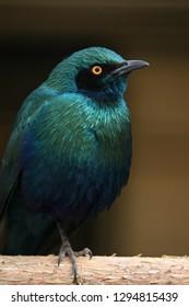 Close up of Emerald Starling Bird