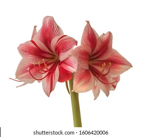 """Close up of emerging bud of Amaryllis (Hippeastrum)   Galaxy Group """"Gervase"""" on a white background isolated."""