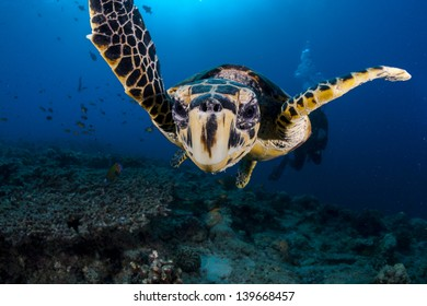 Close encounter with a curious turtle in maldives