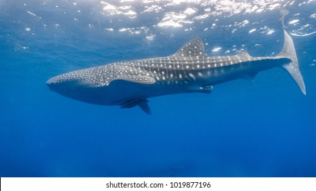 Close encounter with a whaleshark (Rhincodon typus) swimming at the surface