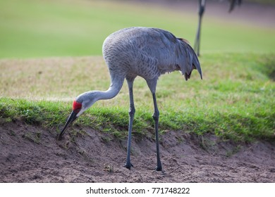 Close Encounters with a Sandhill Crane