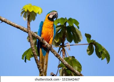 Nahaufnahme einer gefährdeten blauen und gelben Rinde, die auf einem Baumzweig auf blauem Himmel und Baumblättern sitzt, Amazonia, San José do Rio Claro, Mato Grosso, Brasilien
