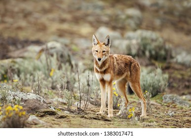 Close up of endangered Ethiopian wolf  (Canis simensis) - canid native to the Ethiopian Highlands, Bale mountains, Ethiopia.