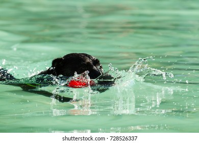 Close up of an energetic purebred black Labrador Retriever dog swimming in a public swimming pool, retrieving his toy.