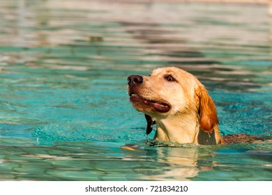 Close up of an energetic young purebred champagne coloured Labrador Retriever dog swimming in a public swimming pool on a sunny late summer's day.