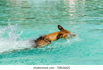 Close up of an energetic young purebred red German Pinscher dog swimming at high speed in a public swimming pool on a sunny late summer's day.