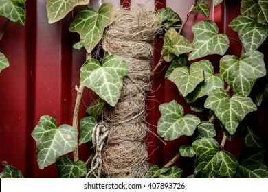 Close up of english ivy on iron fence