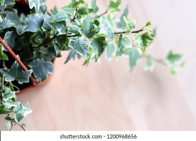 Close up english ivy plant vine and leaves