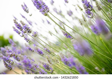 Close up of English Lavender Blossoms