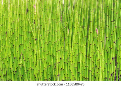 Close up of Equisetum plant stems. Equisetum fluviatile, the water horsetail or swamp horsetail, is vascular plant that commonly grows in dense colonies along freshwater shorelines or in shallow water