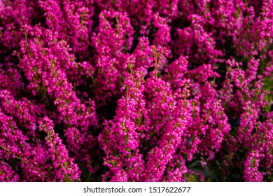 Close up Erica Heather bright pink as a natural background