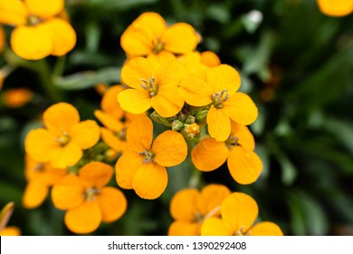 Close up Erysimum coral wallflower, orange color