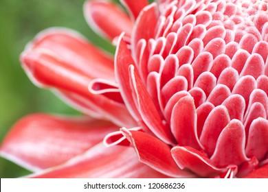 Close up etlingera elatior flower color red in nature