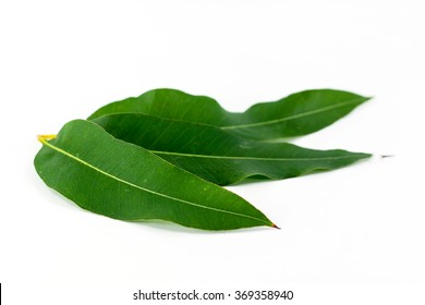 Close up eucalyptus leaves on white