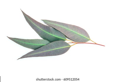 close up Eucalyptus leaves on white background