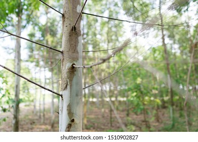 Close up eucalyptus tree at forest background, eucalyptus forest for paper industry.