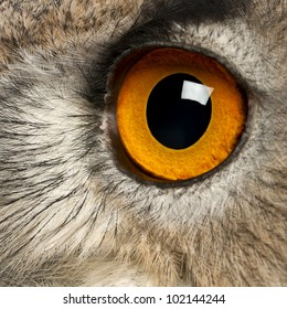 Close up of Eurasian Eagle-Owl, Bubo bubo, a species of eagle owl in front of white background