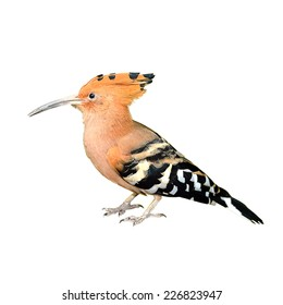Close up of Eurasian Hoopoe (Common Hoopoe) isolated on white background, selective focus.