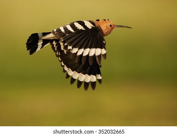 Close up Eurasian Hoopoe flying with fully outstretched wings with nice black and white stripes.  Distant green and ornage meadow in background, evening soft light. Summer time.