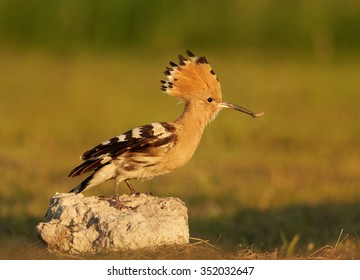 Close up Eurasian Hoopoe Upupa epops feeding chicken, coming with big worm in its beak on pile of rock directly to camera next to nest. Orange and green summer meadow as background.