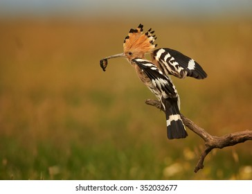 Close up Eurasian Hoopoe Upupa epops with worm in its beak landing on branch with outstretched wings next to nest. Distant orange and green blurry background,evening soft light.