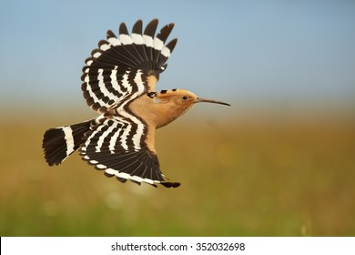 Close up Eurasian Hoopoe Upupa epops flying with fully outstretched wings with nice black and white stripes.  Distant green and ornage meadow in background, evening soft light. Summer time.