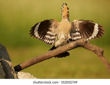 Close up Eurasian Hoopoe Upupa epops with worm in its beak landing on branch straight to camera with outstretched wings next to nest. Distant green blurry background,evening soft light.