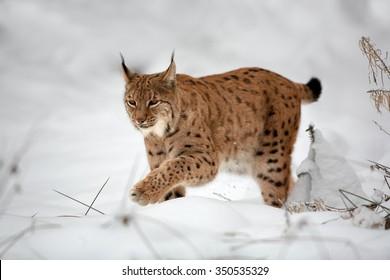 Close up Eurasian Lynx, Lynx lynx in  winter, walking on snowy ground. Europe, Czech highlands.