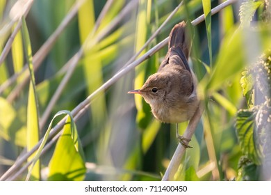 close up of an eurasian reed warbler looking to the side