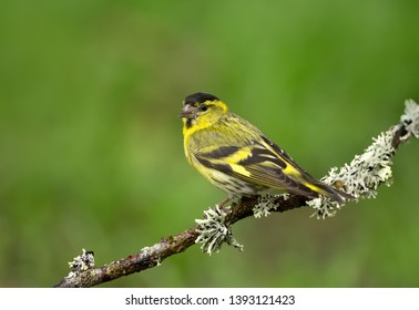Close up of Eurasian siskin (Spinus spinus) on a perch, Finland