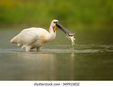 Close up Eurasian Spoonbill, Platalea leucorodia, bird having fish in huge unusual beak, hunting in the green lagoon. Action animal photo. Natural behaviour of white spoonbill. Wildlife photography.