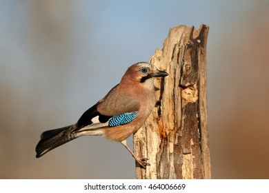 Close up european bird Garrulus glandarius,  Eurasian Jay perched on old trunk against abstract background. Winter, Europe,Czech republic.