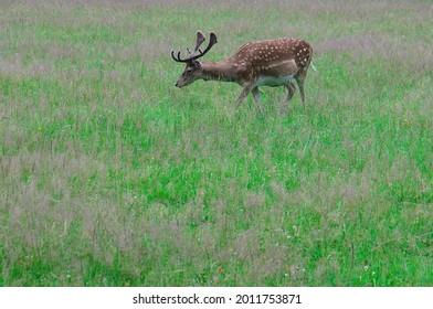 close up of European Fallow deer (dama dama in latin) - Shutterstock ID 2011753871