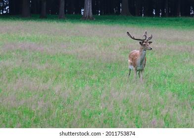 close up of European Fallow deer (dama dama in latin) - Shutterstock ID 2011753874