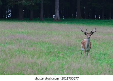 close up of European Fallow deer (dama dama in latin) - Shutterstock ID 2011753877