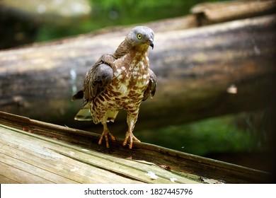 Close up European honey buzzard, Pernis apivorus, migratory bird of prey, walking on old spruce tree trunk. Czech republic.