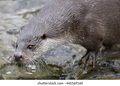 Close up of european otter